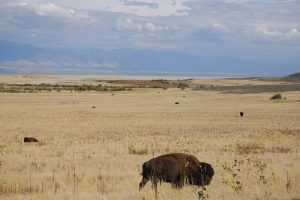 A buffalo standing in Antelope Island State Park